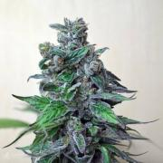 Cannabis seeds Blueberry Moscow