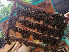Queen bees. Bdzholomatki