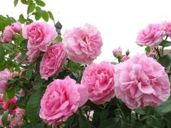 Саженцы роз из питомника. Саженцы роз опт